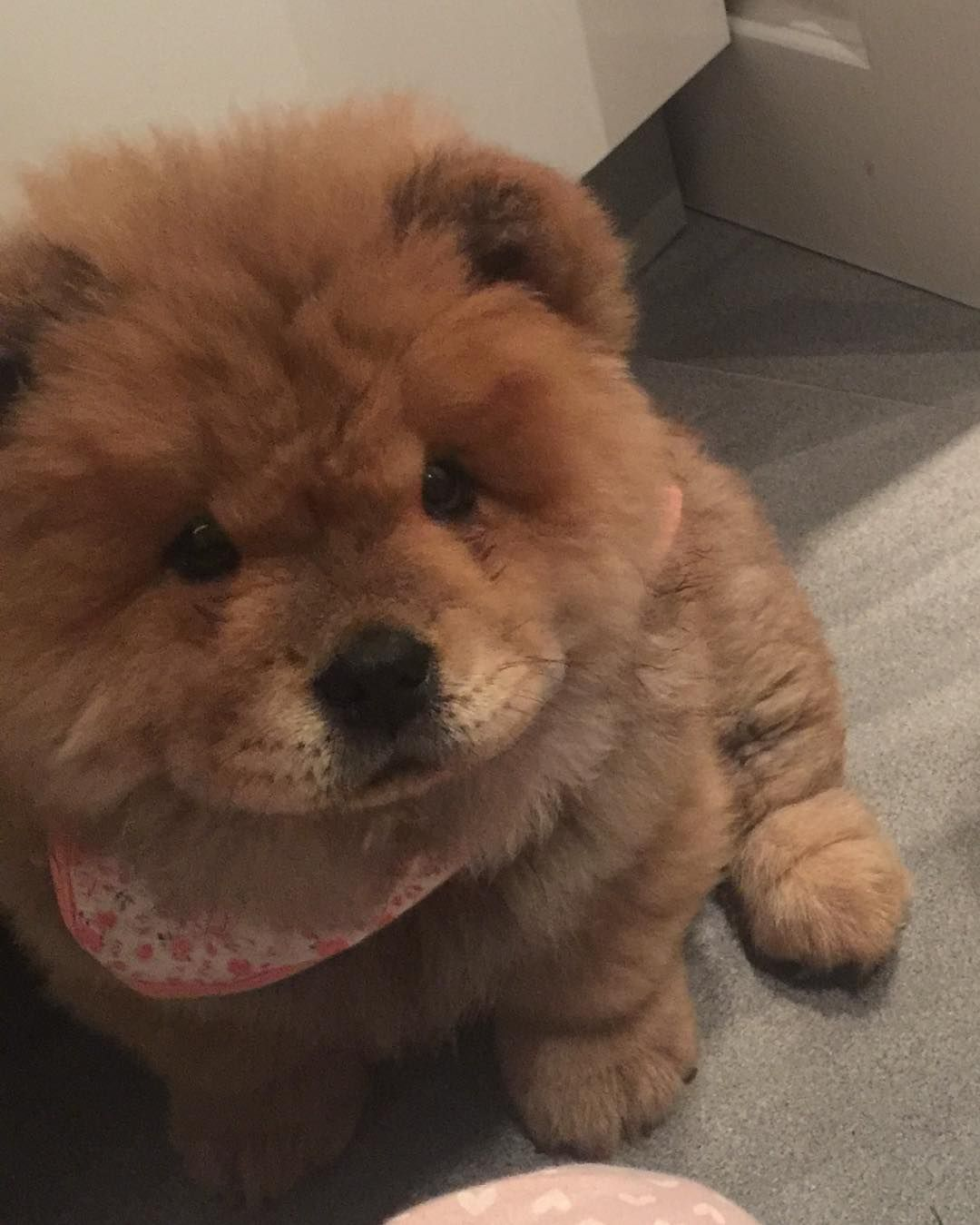 How To Potty Train A Chow Chow Puppy Free Mini Course Big