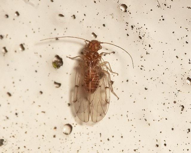 psocid google search bed bugs fleas and ticks pinterest
