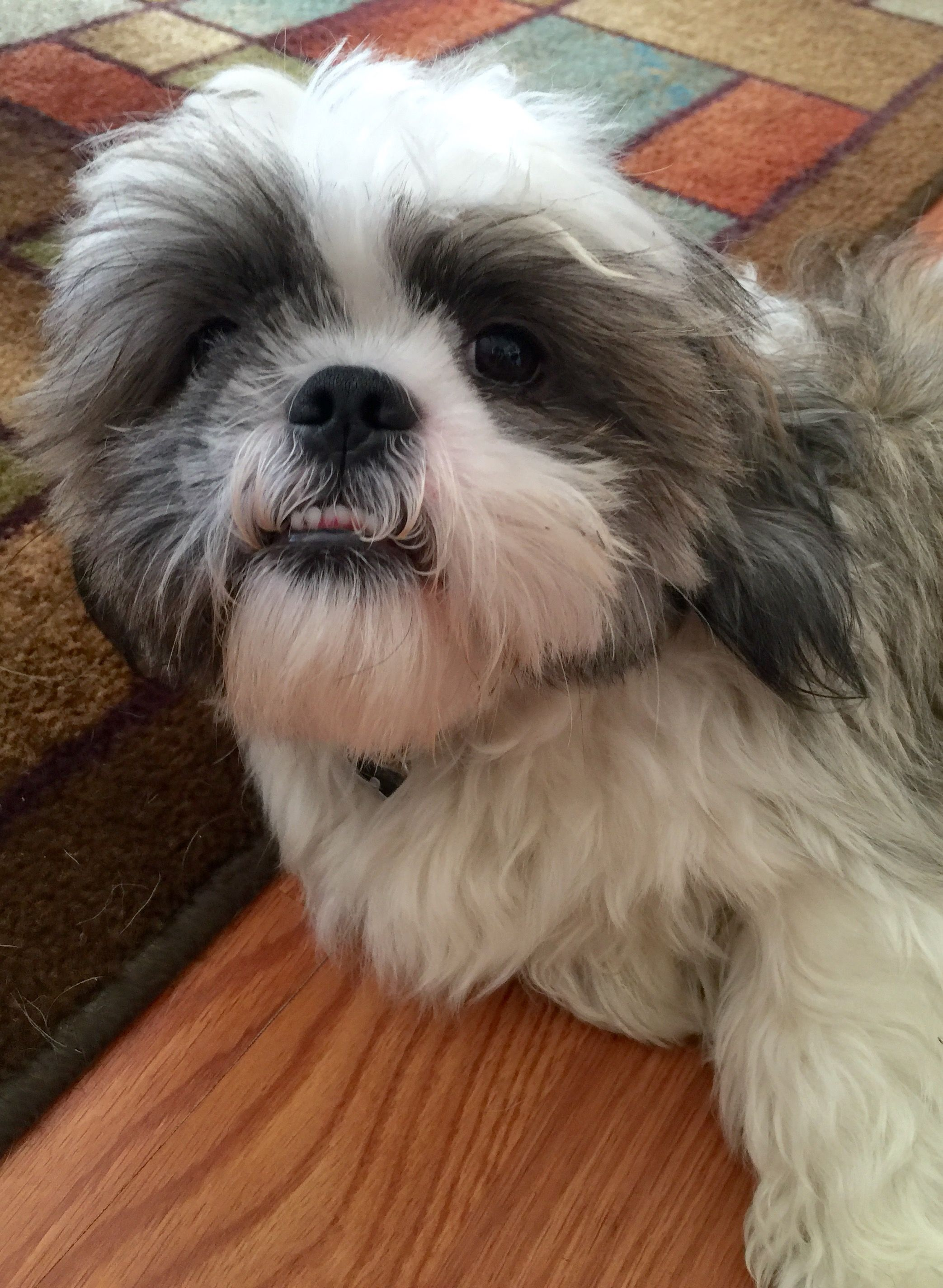 """Shih Tzu R Us - """"PAST PUPPY PICS ~Page 5""""  ~To all ...  