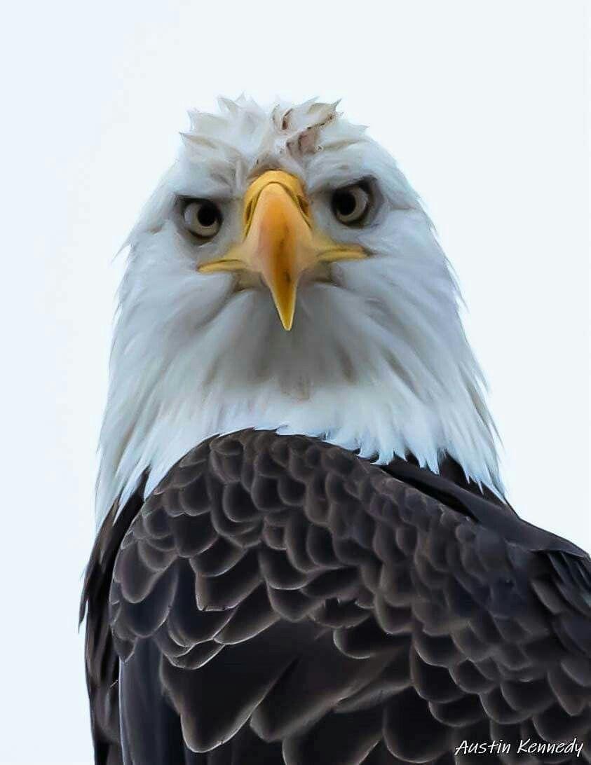 Big bay southern illinois eagle birds southern illinois
