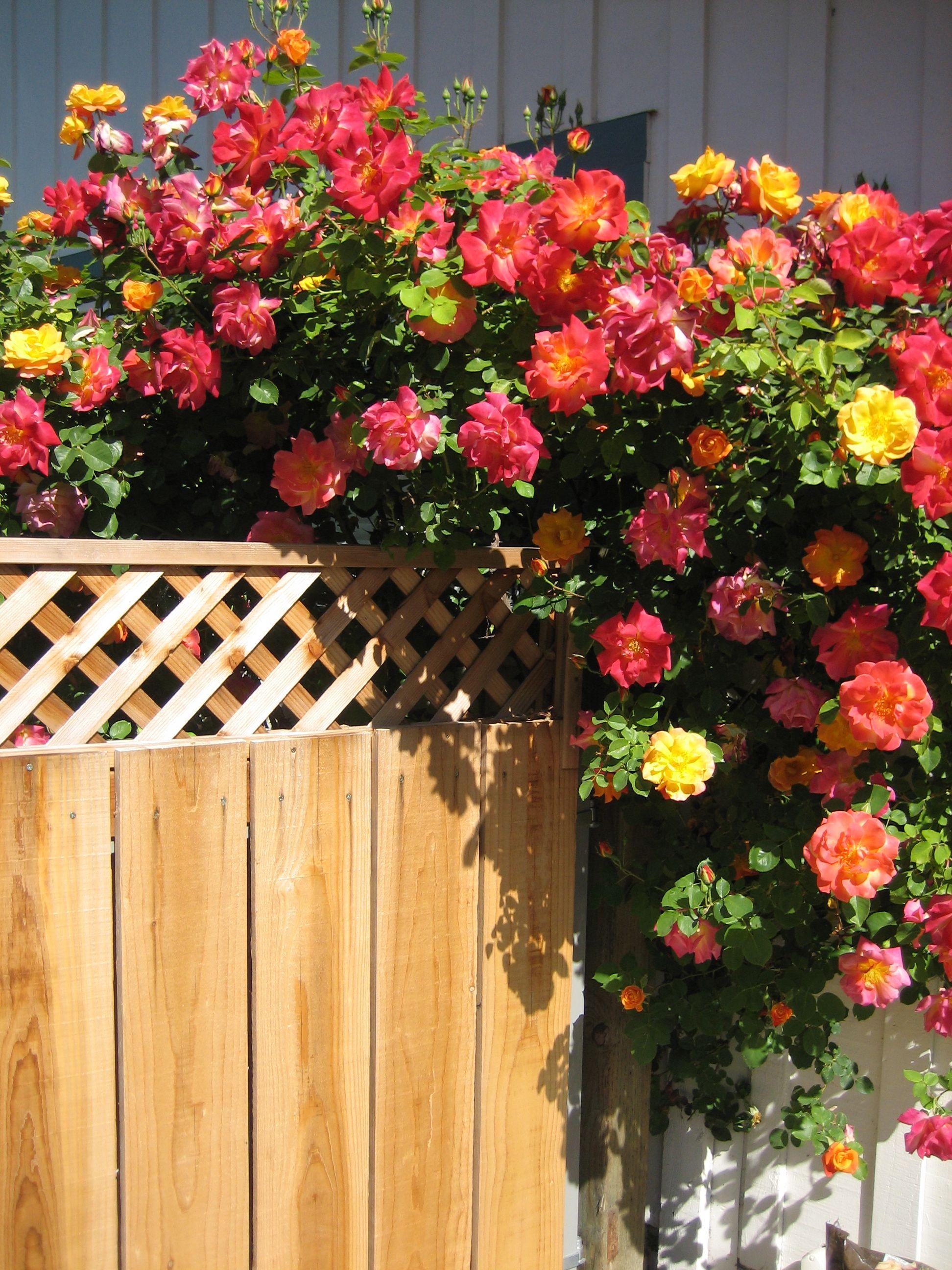 "Climbing rose ""Joseph's Coat""   Roses   Rose garden design ..."