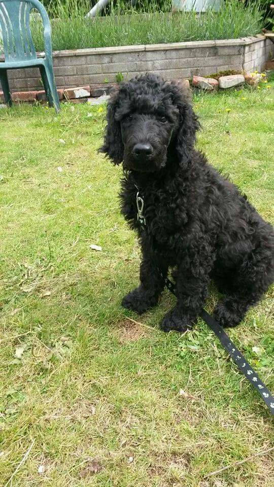 My Little Remy Black Standard Poodle Pup Cute Poodle Pup