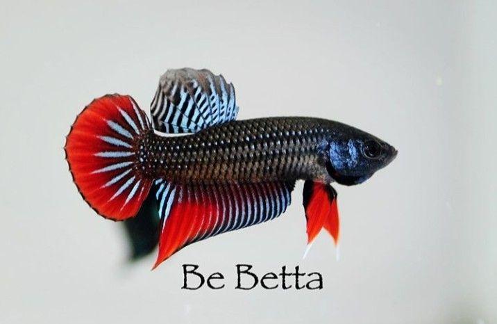 #bebetta #bettafish #betta #fish #wildbetta #imbellis #ปลากัดป่า