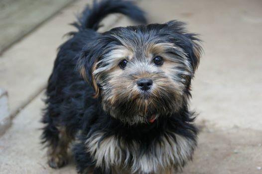 Adopt Maime Taylor On Petfinder Yorkie Yorkshire Terrier Yorkshire Terrier Puppy Adoption
