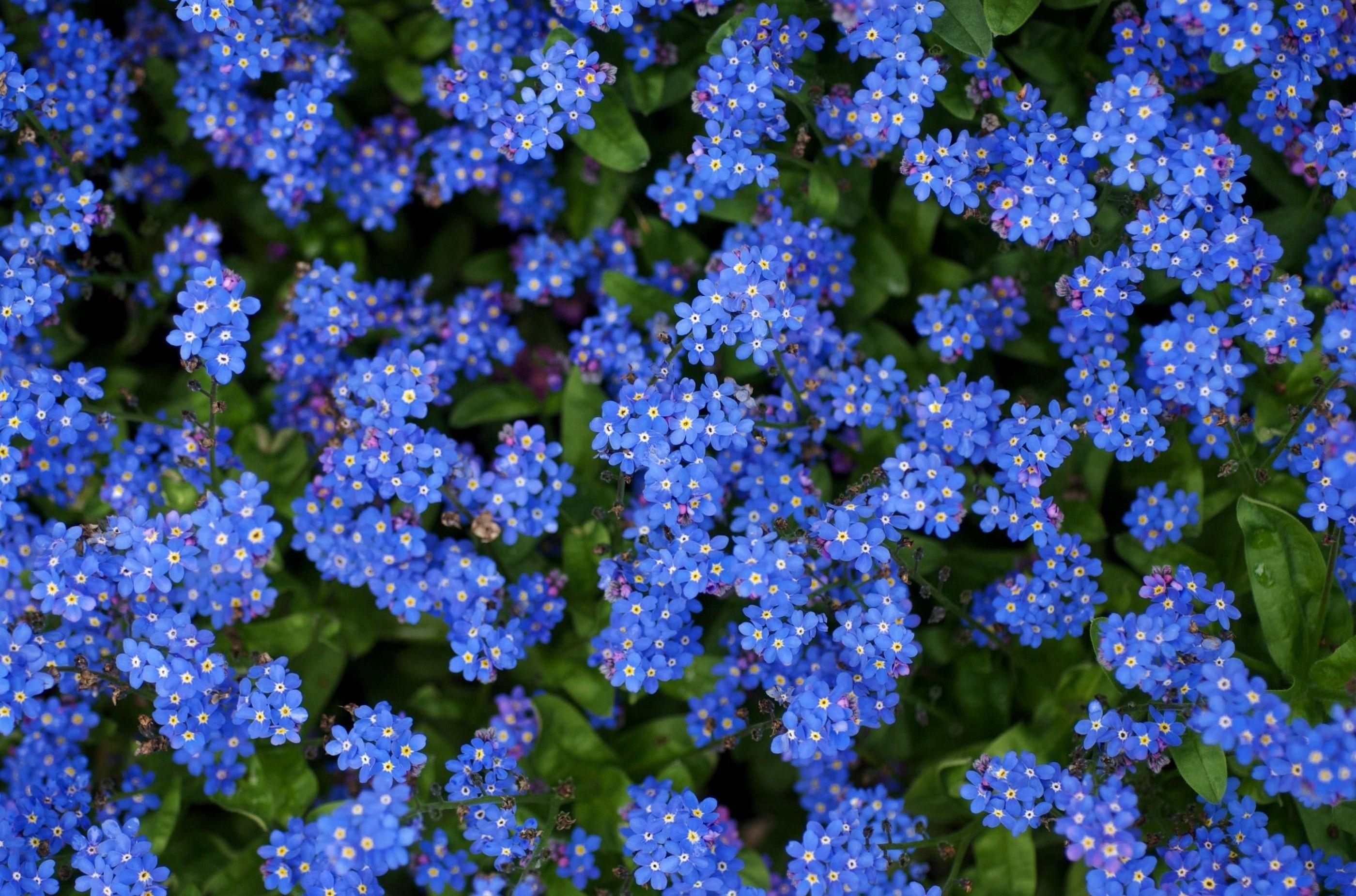 Bright blue flowers me nots flowers small blue bright my bright blue flowers me nots flowers small blue bright izmirmasajfo