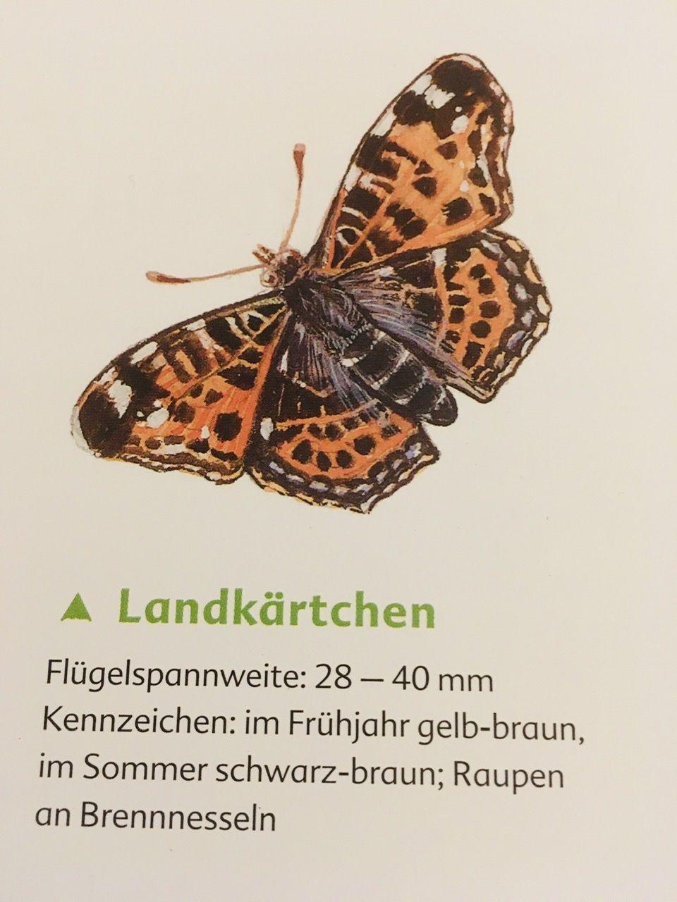 Landkartchen In 2020 Braun Werden Schmetterling