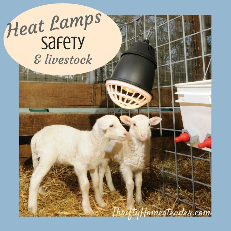 Heat Lamps Safety And Livestock Goat House Goats Kids Barn