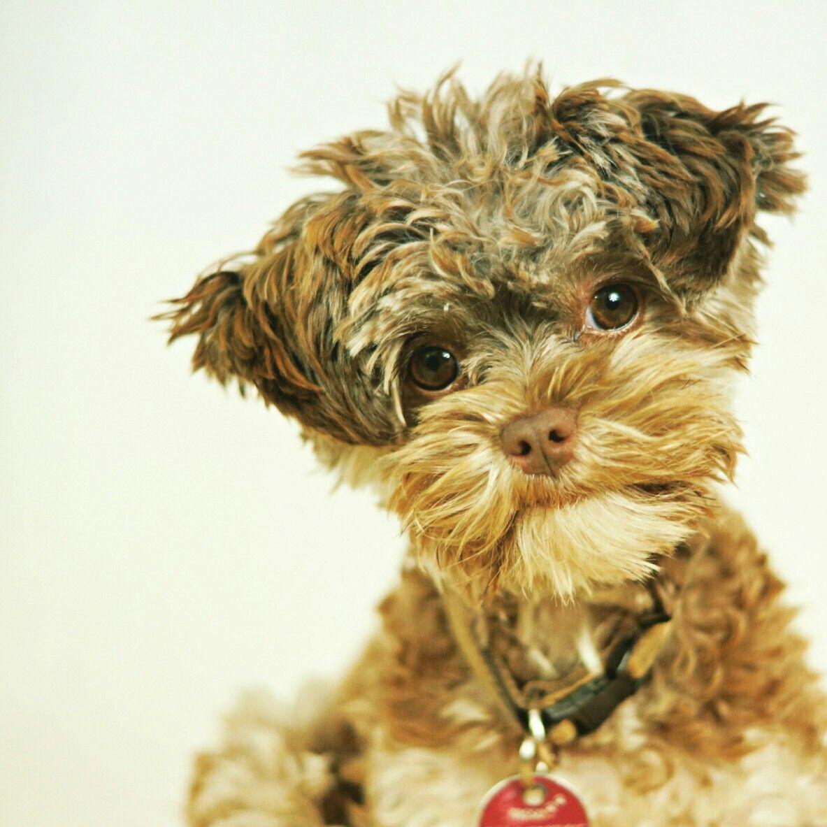 Bolonka Zwetna Puppy Bazooka Chocolate So Cute Puppylove Puppies Puppy Love Pets