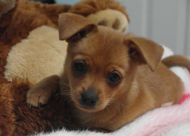 Pinscher puppy mix