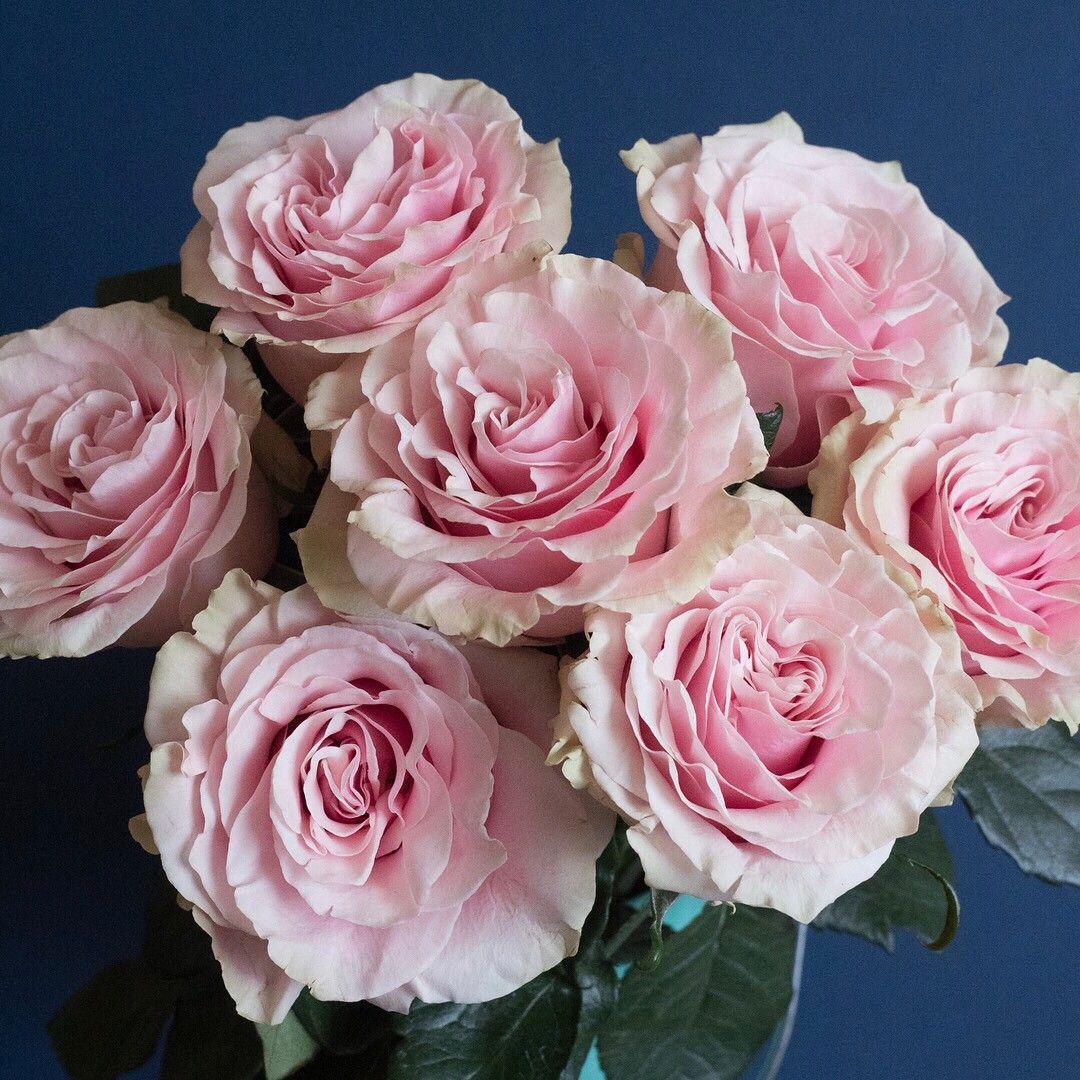 Meet Gorgeous Pink Mondial This Light Pink Variety Has Lovely Ruffled Petals And Accents Of Creamy Chartreuse Pink Mo Light Pink Rose Rose Navy Pink Weddings