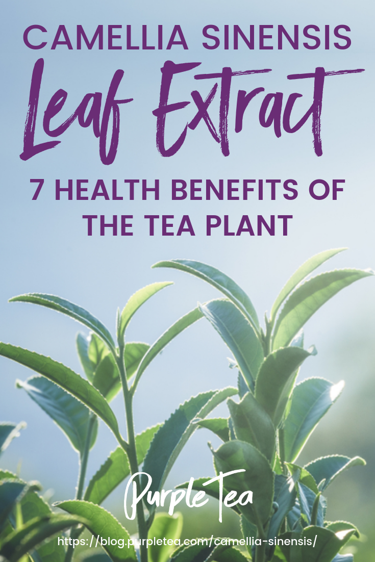 Camellia Sinensis Leaf Extract 7 Health Benefits Of The Tea Plant Tea Plant Types Of Tea Health Benefits