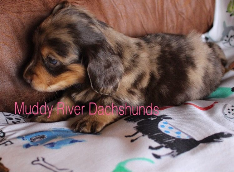 Chocolate Dapple Miniature Dachshund Puppies Texas Muddy River