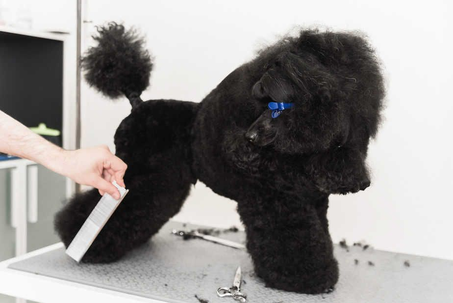 How to groom a poodle puppy a complete guide poodle