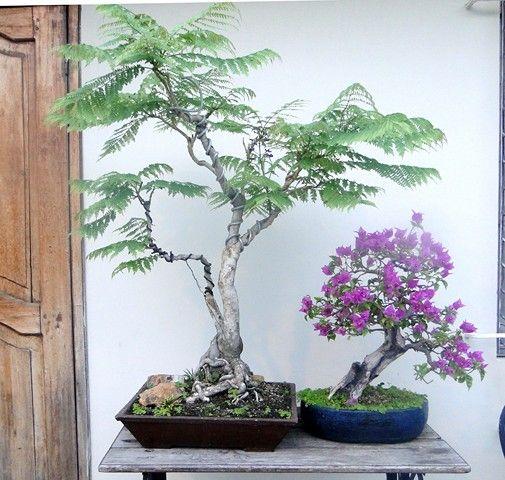 rp jacaranda trees the smaller tree has its purple blooms bonsai pinterest. Black Bedroom Furniture Sets. Home Design Ideas
