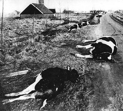 Verdronken of bezweken koeien