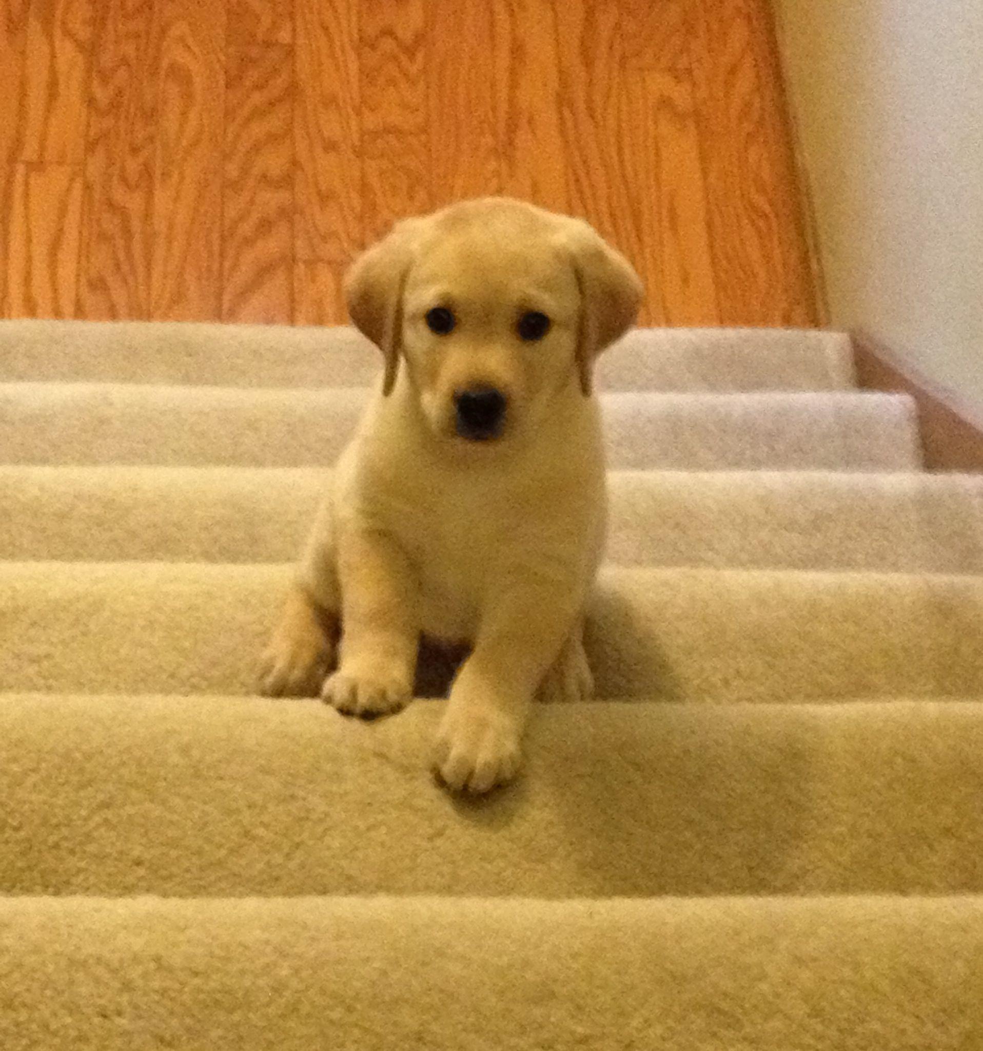 Yellow Labrador puppy I Love Puppies Pinterest