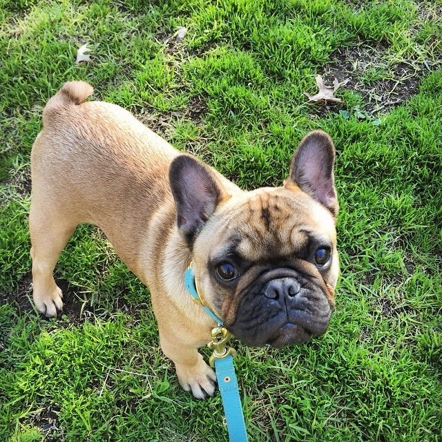 Pin By Lulu On Dogs French Bulldog Bully Breeds Pets