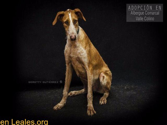 Perros En Adopción Santa Cruz De Tenerife Tenerife Pedrito Adopción Albergue Valle Colino Pedrito De 1 Año Y 5 Meses Activo Perros En Adopcion Adoptar Un Perro Y Perros