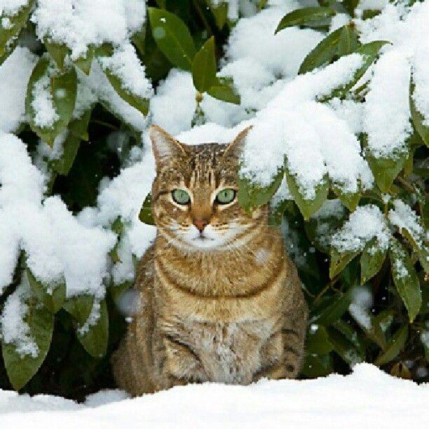 Gato Europeo: en regiones de clima templado se desarrollaron gatos de formas más compactas y con un pelaje denso, provisto de una capa protectora de lana que los aislaba del frío. Así se gestó el actual gato europeo, nuestra masota doméstica común.  #amorgatuno #gato #gatos #cat #cats