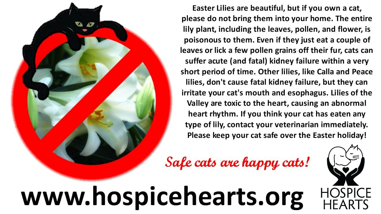 Easter Lilies are beautiful, but if you own a cat, please