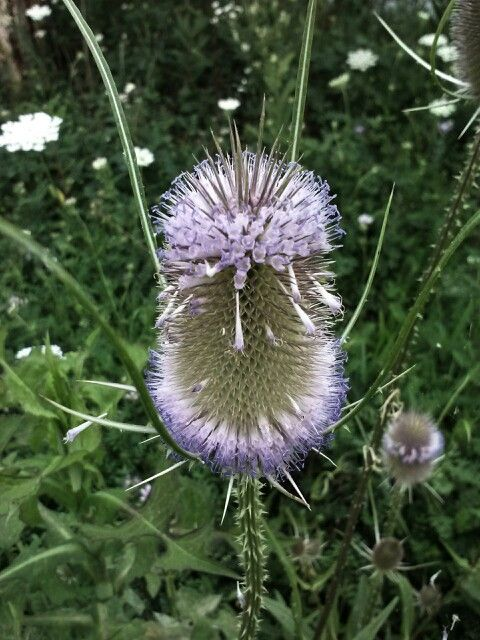 Thistle, at Shuey Lake, Fort Indiantown Gap, Pa.