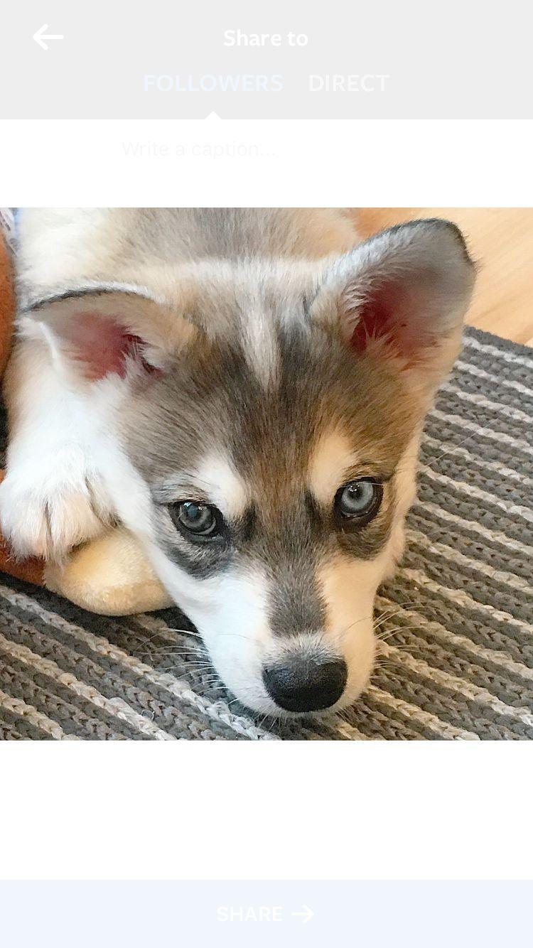 Alaskan Klee Kai Puppy One Brown One Blue Eye Alaskan Klee
