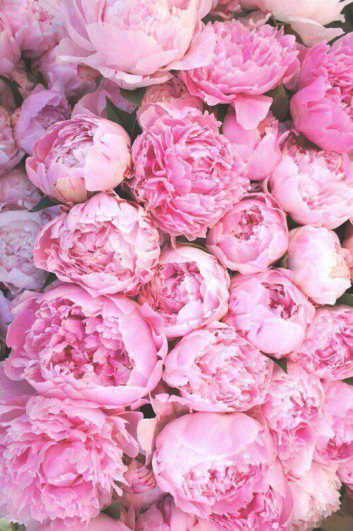 Fondos De Pantalla Para Tu Celu Papel Pintado Flores Fondo De Pantalla Rosado Para Iphone Peonias Azules
