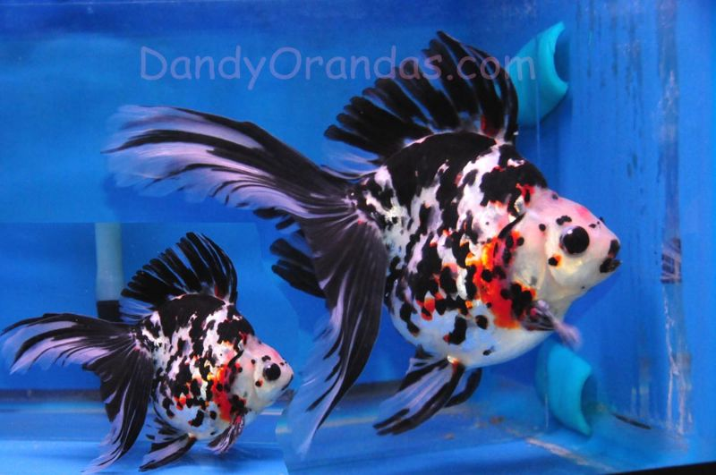 Dandyorandas Com Collector And Show Quality Goldfish Goldfish Aquarium Fish Ryukin Goldfish