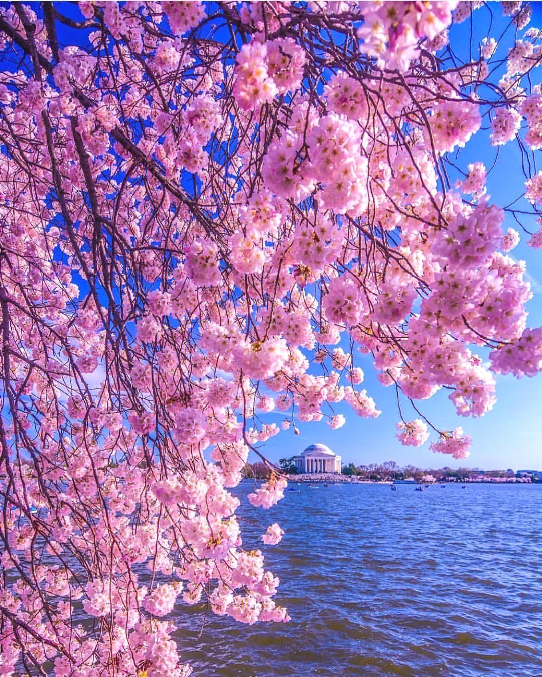 Cherry Blossom Washington D C Pic Cbezerraphotos Cherry Blossom Background Background Pictures Photo