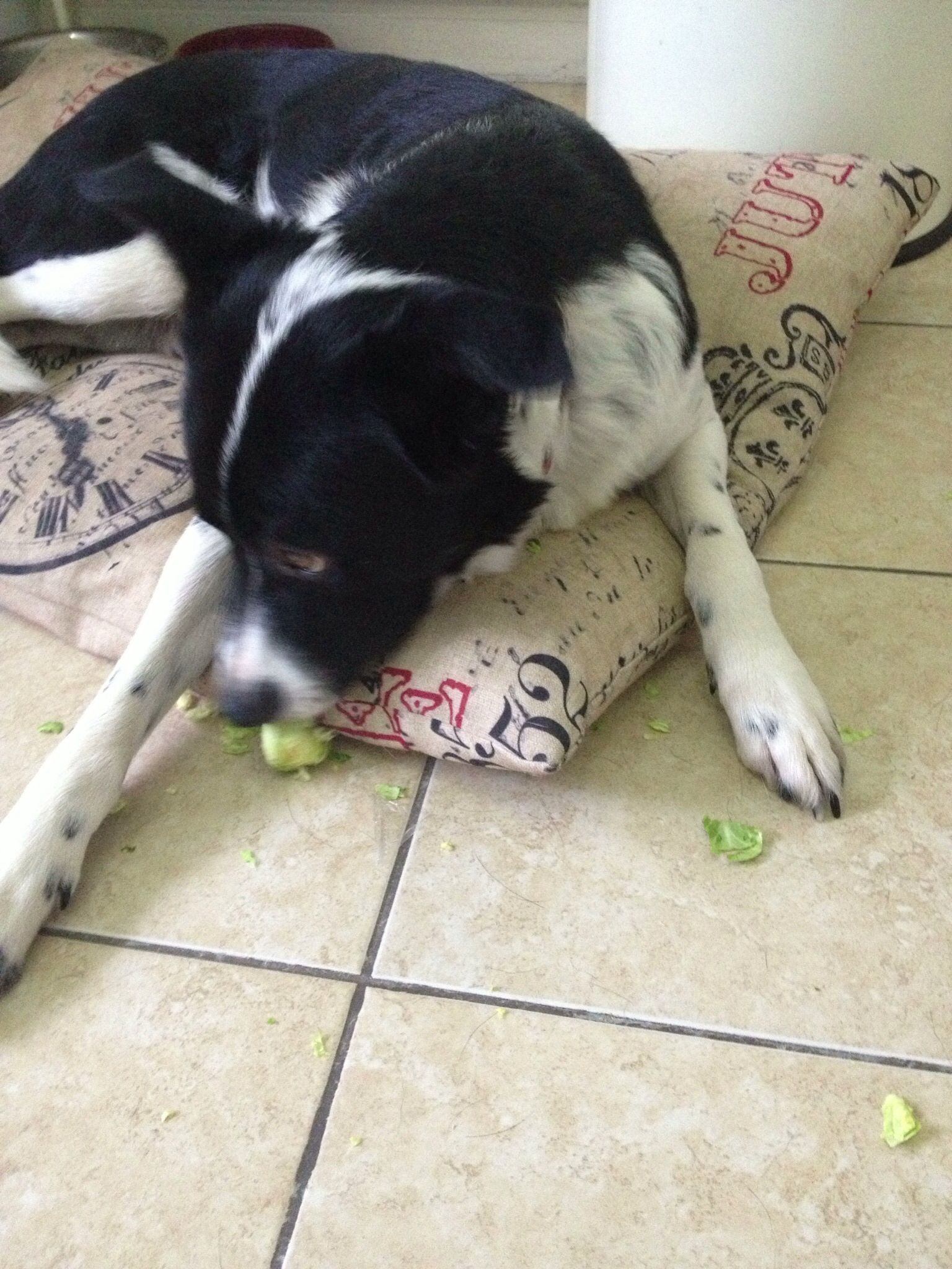 Same boarder collie, next Christmas, this time a guilty Brussel sprout