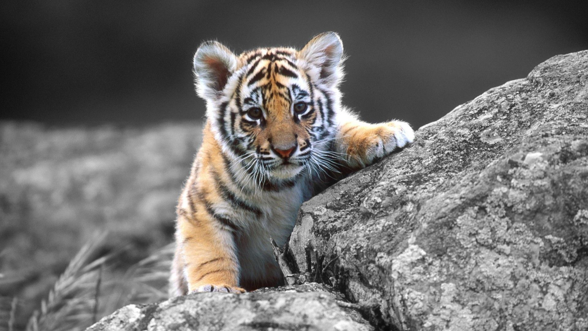 baby tiger wallpaper  Baby White Tiger Wallpapers Wallpaper | HD Wallpapers | Pinterest ...