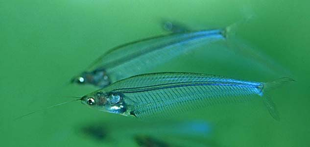 Glass Catfish These Are A Shoaling Fish But Apparently Dont Get V