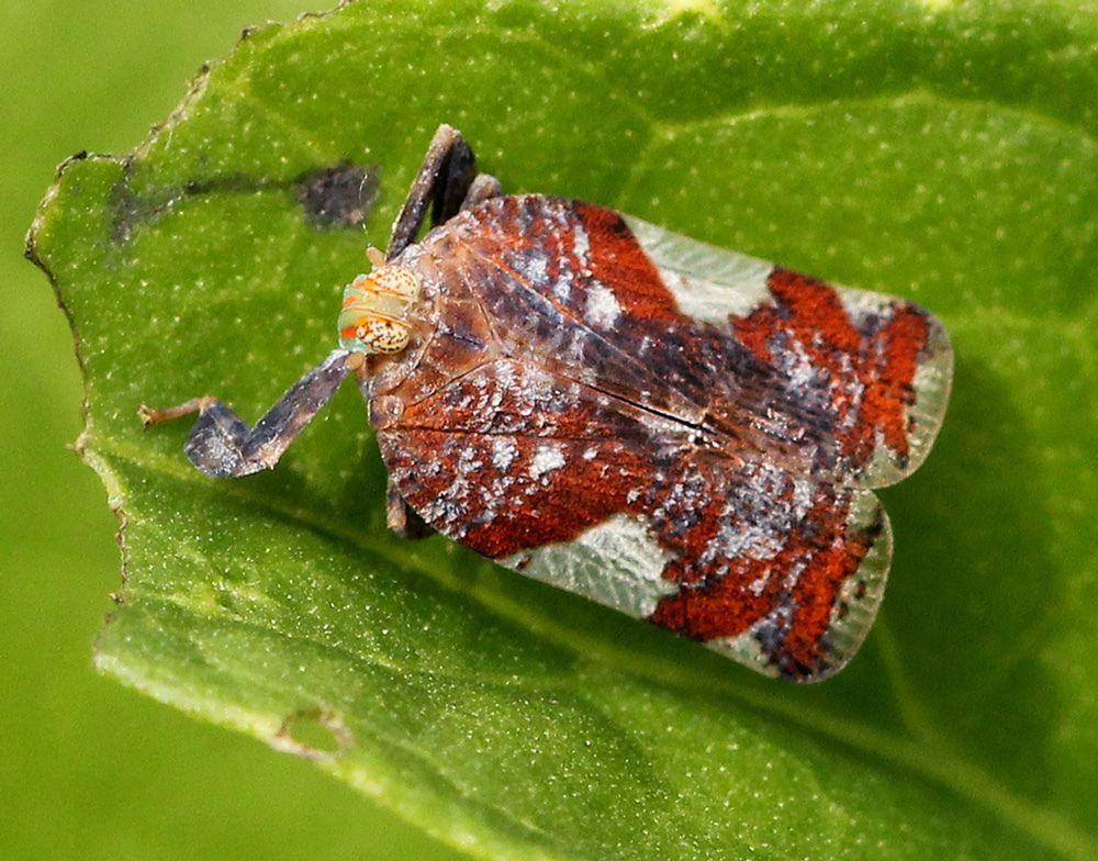 Lophopidae Pesquisa Google Insectos