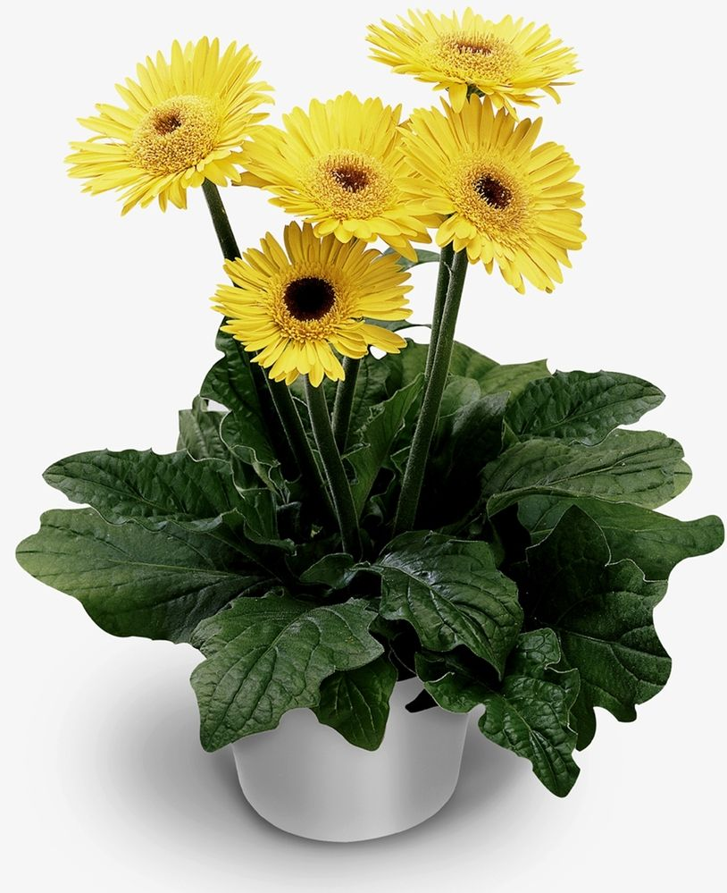 Spider Yellow Sakata Doesn T Look Funny Colour Of Leaves And Orientation Stalks Erect Gerbera Gerbera Daisy Zinnias