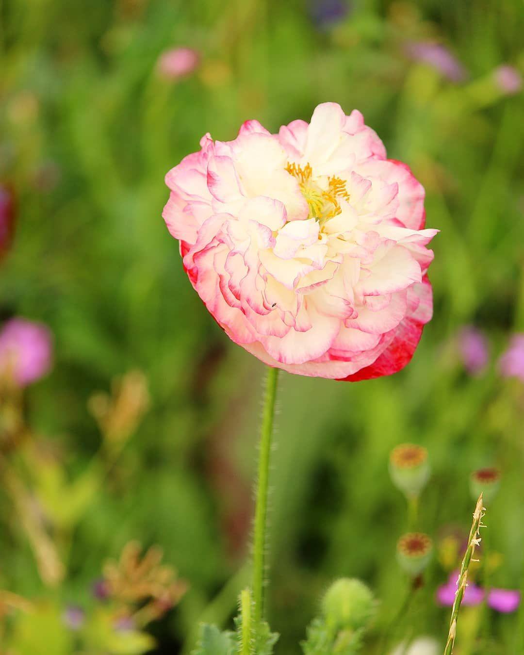 Wunderschone Mohnblume Auf Einer Wildblumenwiese Gefullt Und Mit Toller Farbe Da Kann Man Nicht Vorbeigehen Mohnblumenfeld Blut Flowers Plants Garden