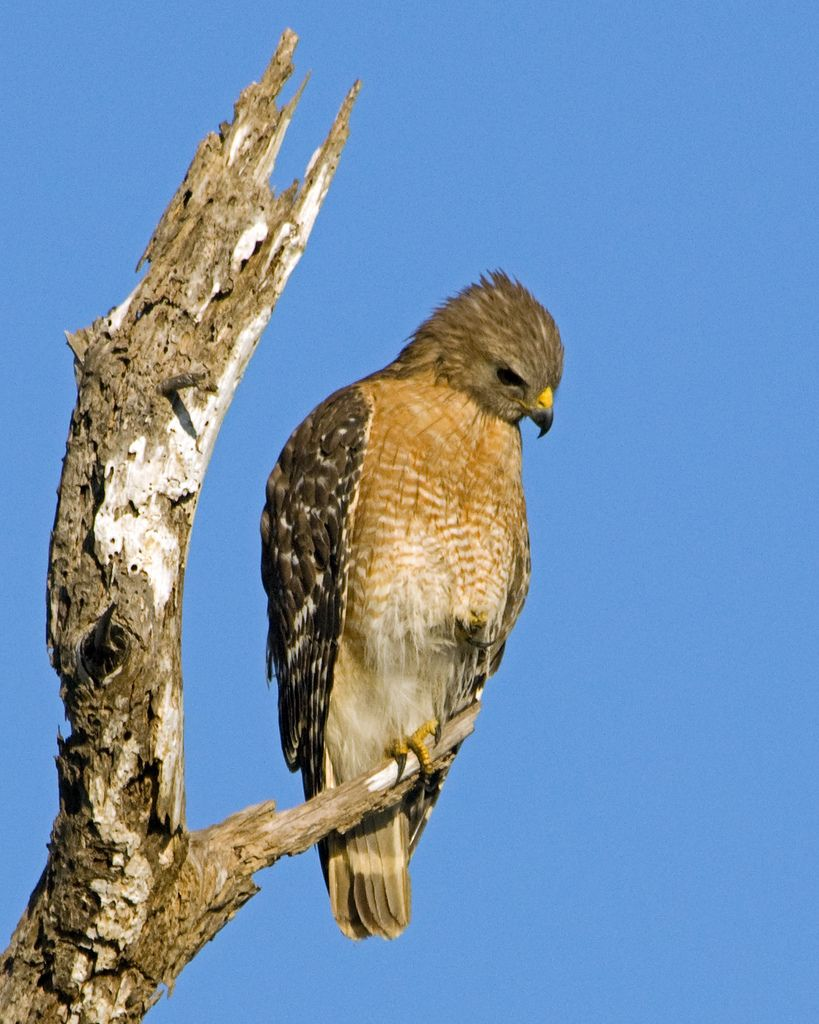 Red Shouldered Hawk Buteo Lineatus Hawks Birds Red Tailed Hawk Bird Feathers