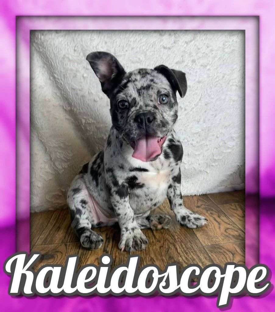 Kaleidoscope Female French Bulldog Akc 3500 French Bulldog