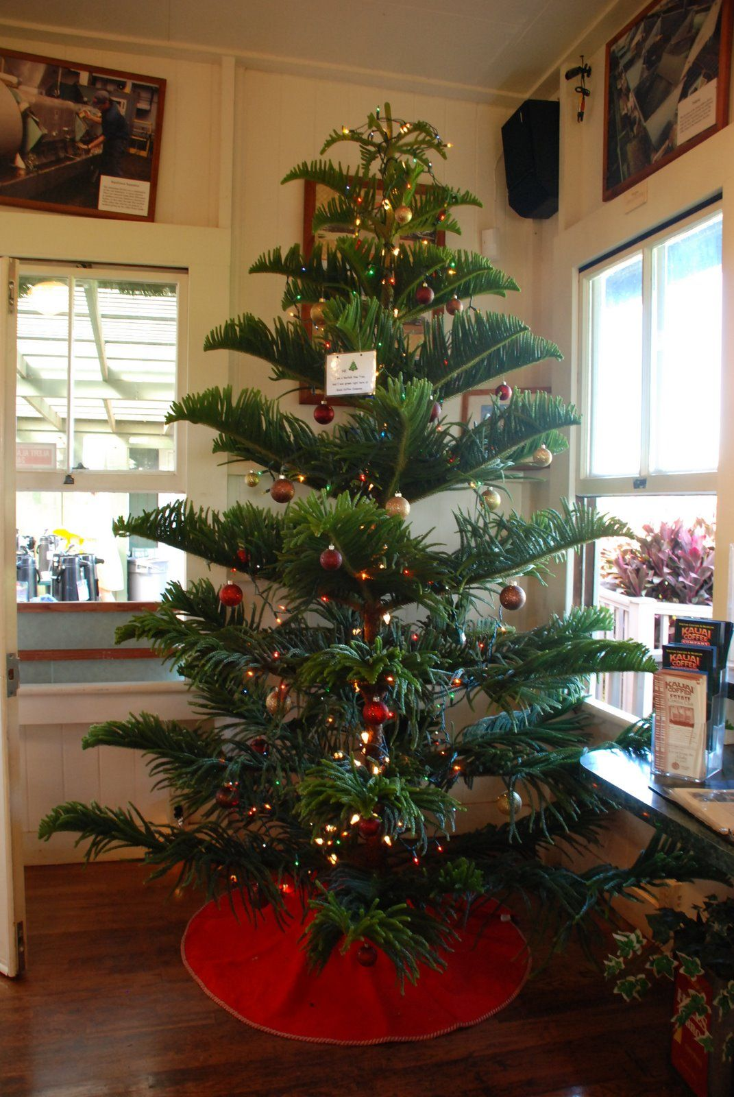 Norfolk Island Pine for a Christmas tree! You can get nice big ...