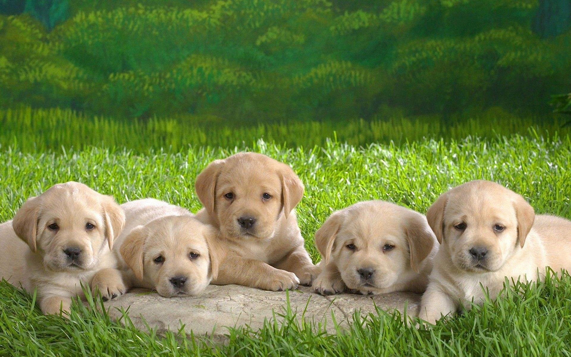 Labrador Retriever Puppies For Sale Cute Puppy Wallpaper Cute