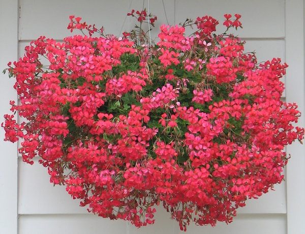 Ivy geranium mini cascade red annuals pinterest ivy gardens and plants - Different types pelargoniums ...