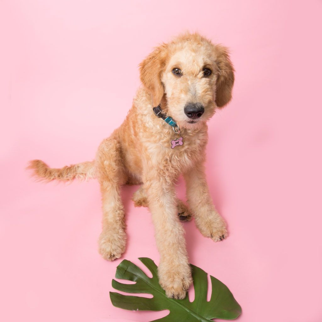 Goldendoodle Haircuts & Goldendoodle Grooming