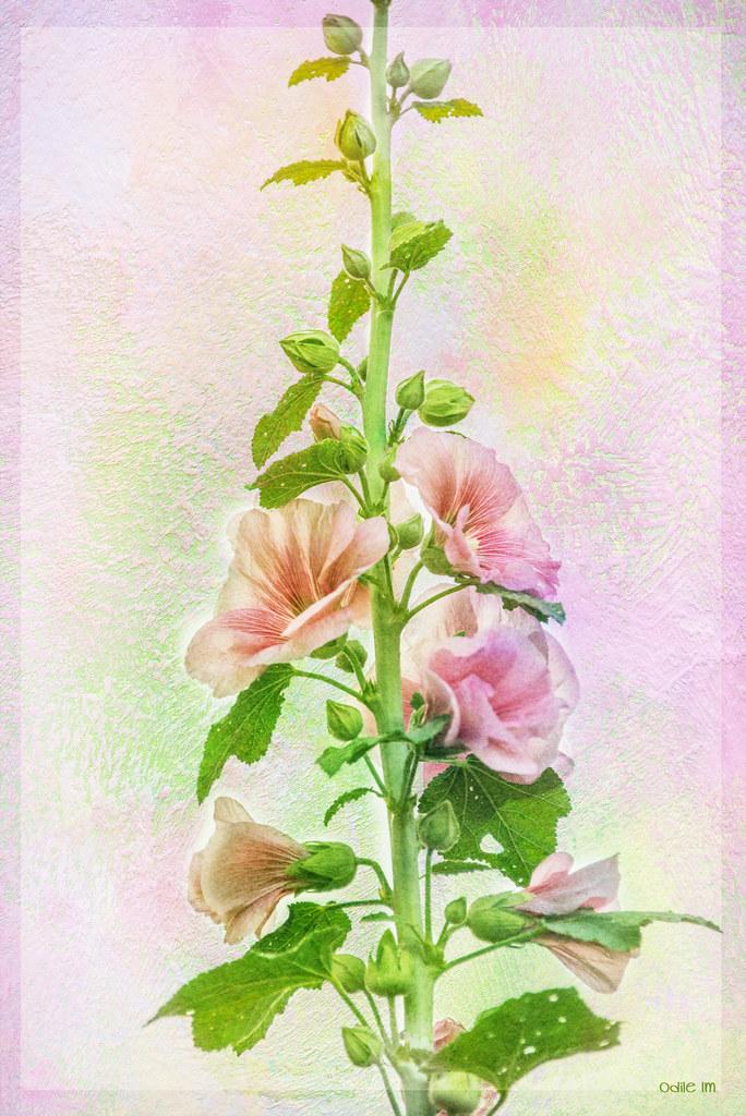 Hollyhocks... in 2020 Hollyhock, Botanical, Rose