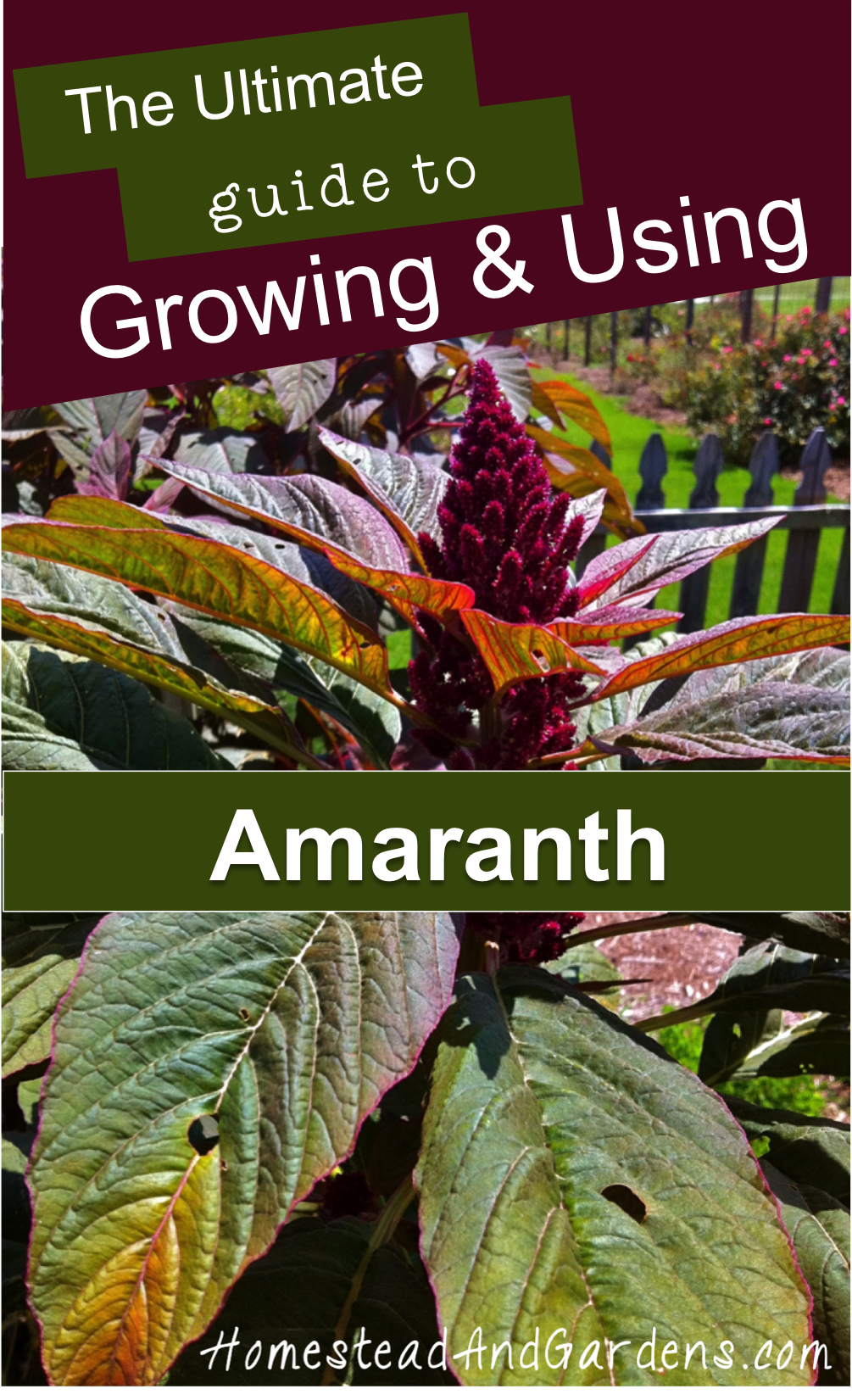 The ultimate guide to growing and using amaranth (a gluten-free pseudograin/pseudocereal related to Quinoa); Amaranth recipes; How to grow amaranth; Different kinds of amaranth (Amaranthus hypochondriacus, Amaranthus caudatus, Amaranthus cruentus.)