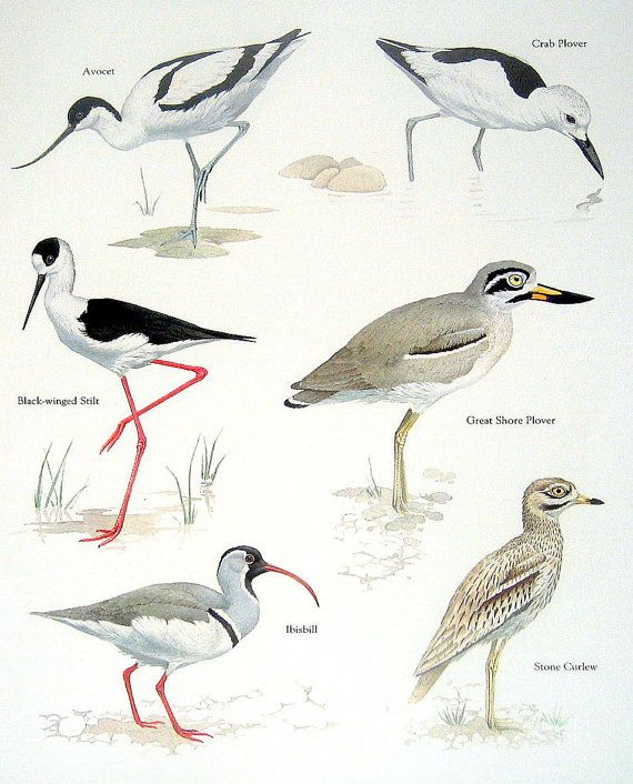 Birds Avocet Crab Plover Black Winged Stilt Ibisbill Vintage