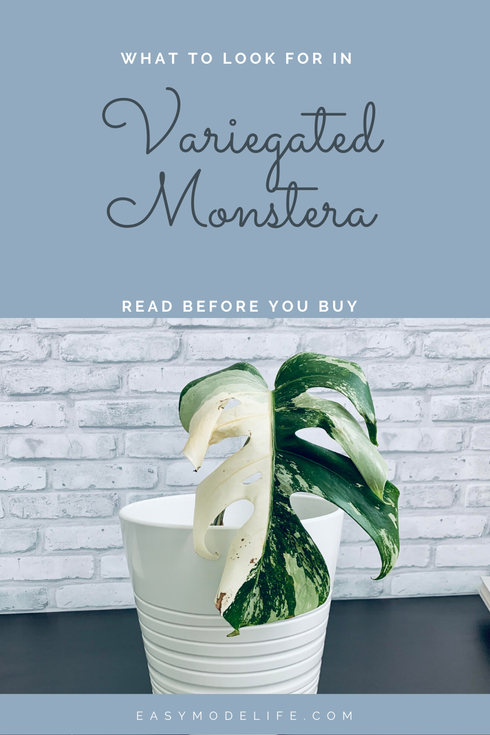 What To Look For In A Variegated Monstera Variegated Plants Monstera Perfect Plants