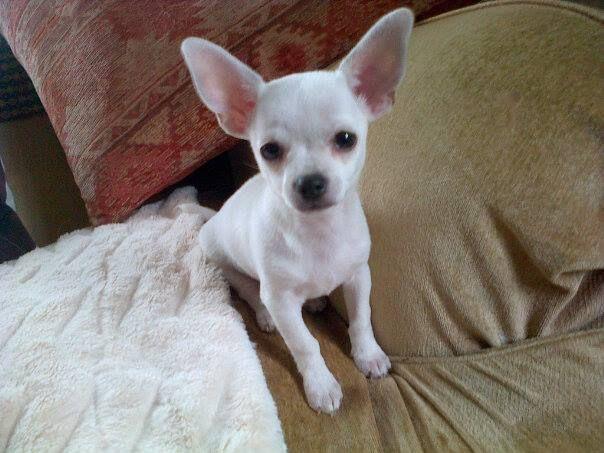 White Chihuahua White Teacup Chihuahua Tiny White Chihuahua
