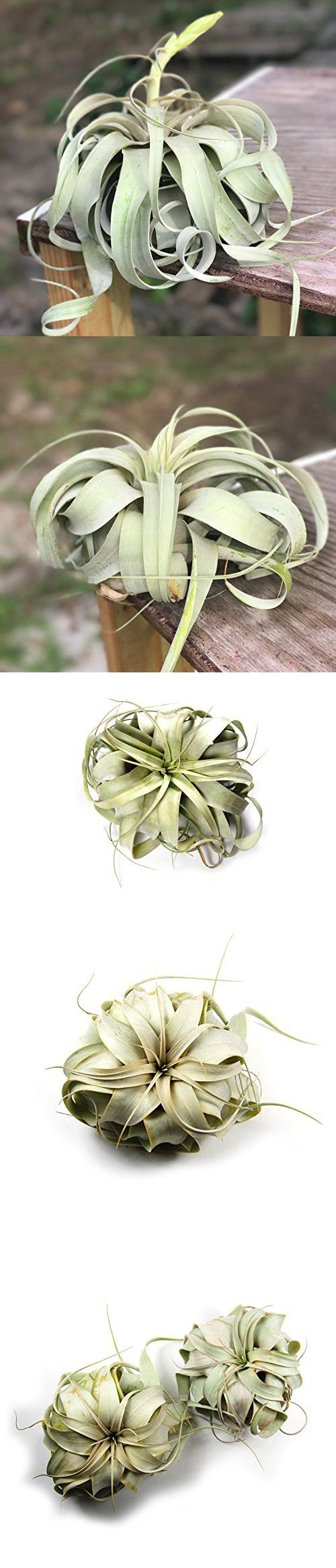 Large Xerographica Air Plants Large Air Plants 30 Day Guarantee Leaf Structure /& Appearance Varies Fast Shipping from Florida The Queen of Air Plants Big 5 to 7 Inch Wide air plants