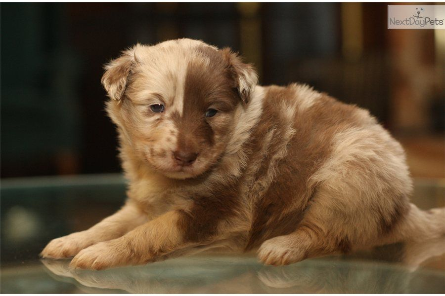 Wilbur Australian Shepherd Mix Puppy For Sale In Millersburg Oh
