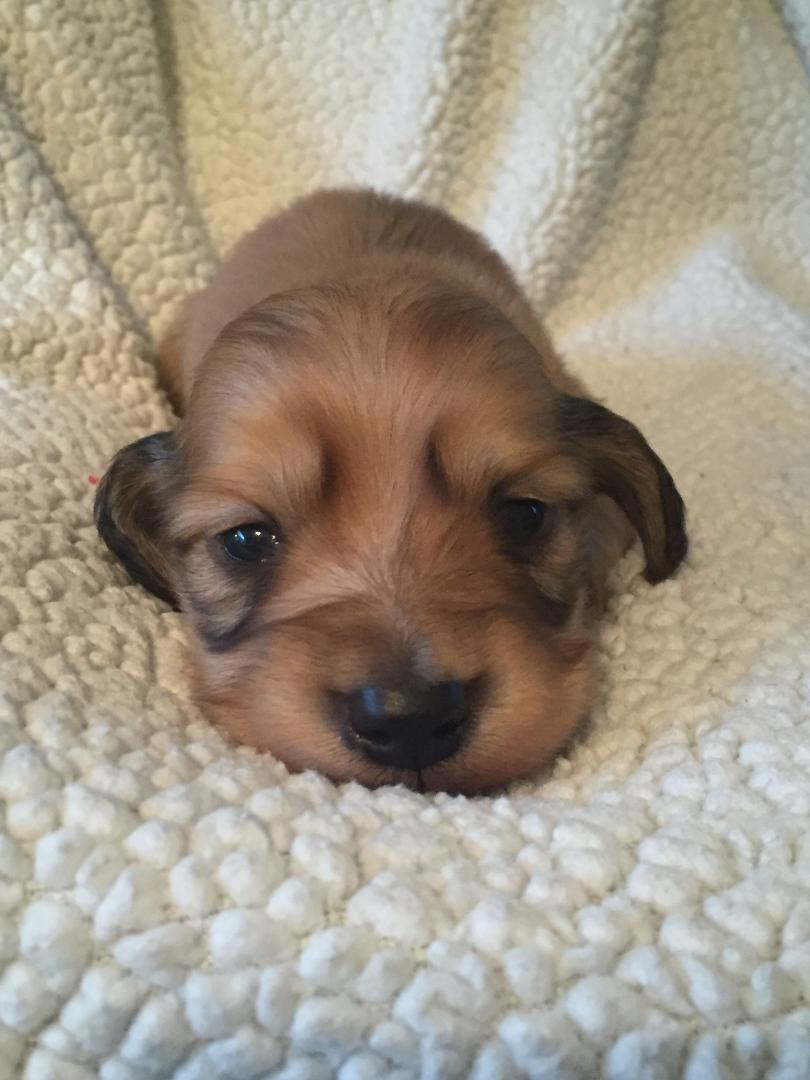 Newly Born Mini Long Hair Shaded Cream Dachshund Puppy Dachshund