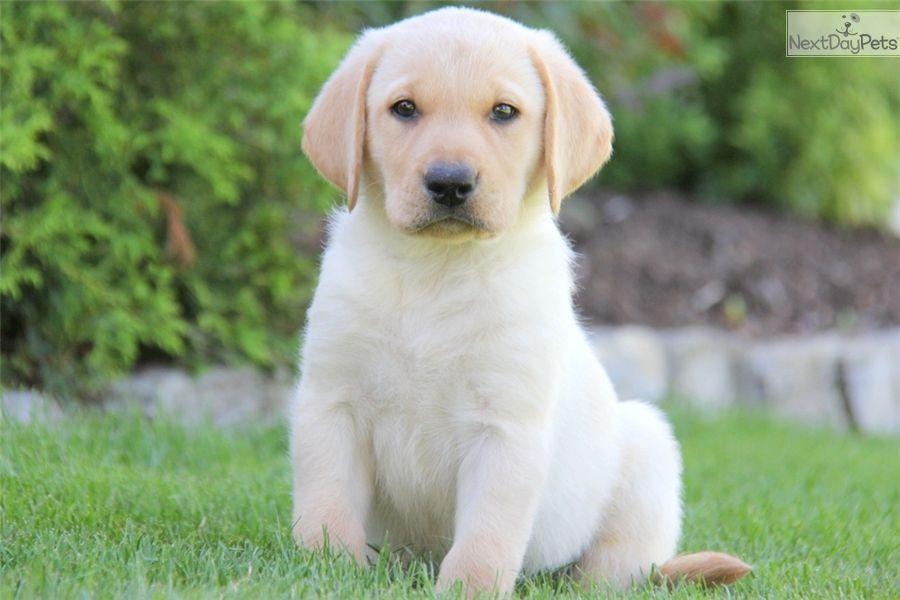 Labrador Retriever puppy for sale near Lancaster